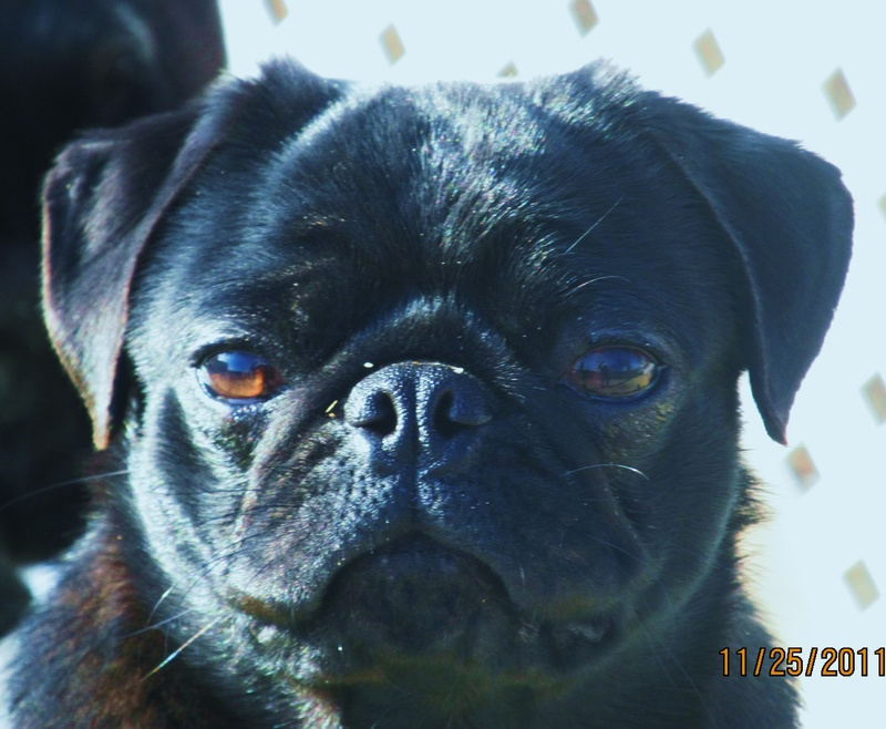 pugs breed essay What is it that you want in a dog do you want a charming and playful dog i hope you do because that is what the pug breed is the pug is a breed that has many great qualities for being more than just your pet, but being your friend that can't stand the thought of not being with you.